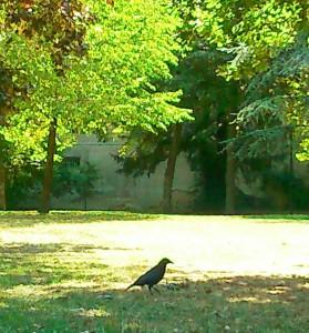 corbeau pigeon
