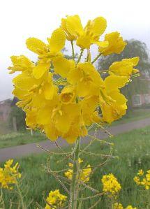 fleur de navette