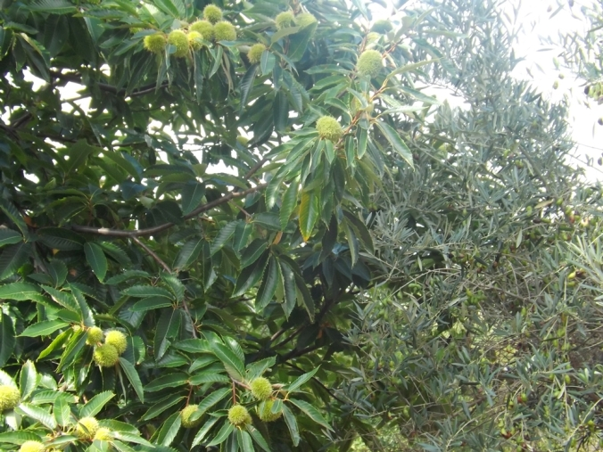 chataîgnier et olivier
