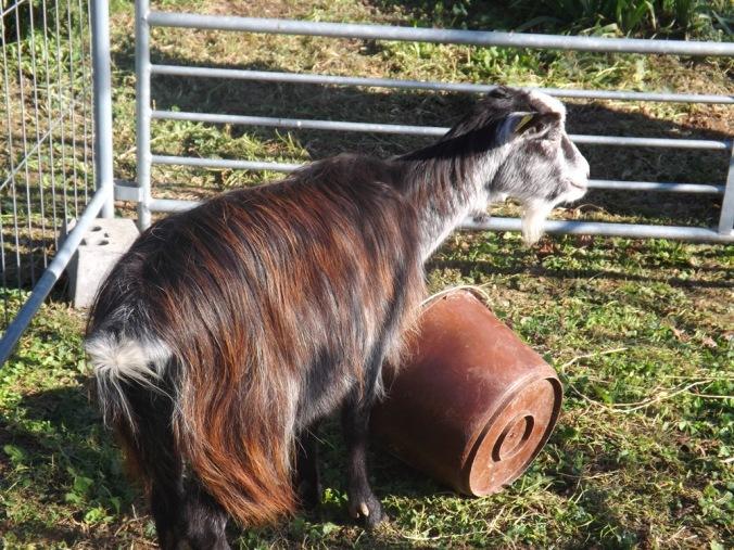 chèvre st jean de l'arbousier