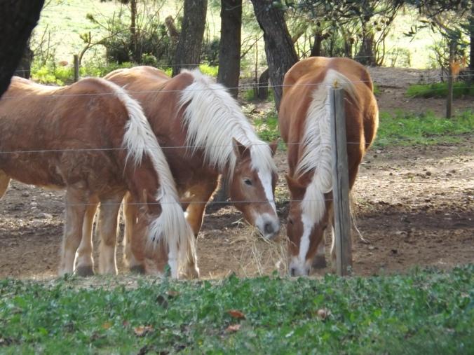 chevaux de st jean de l'arbousier