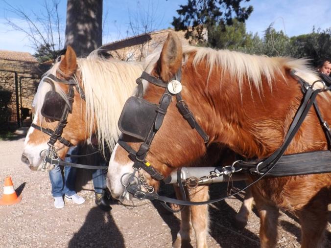 double-poneys de l'attelage de st jean de l'arbousier