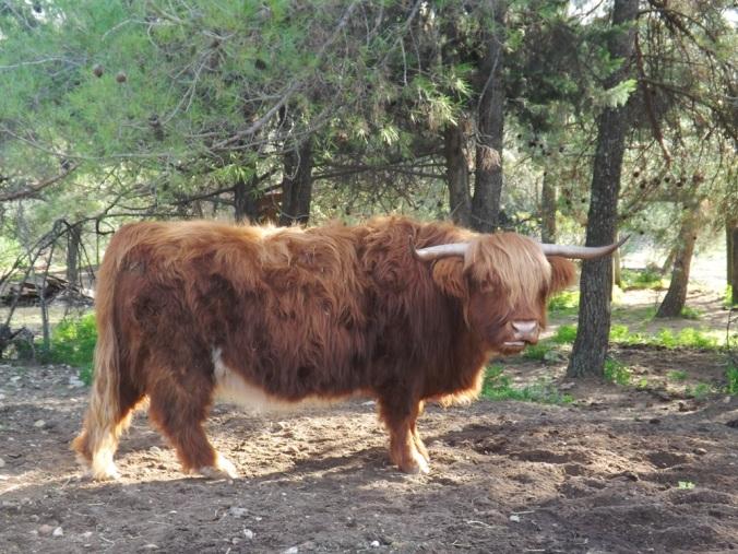 vache st jean de l'arbousier