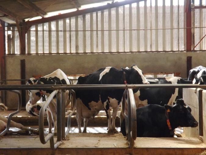 vaches libres (2)