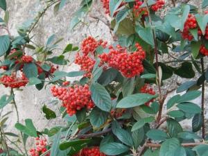 baies rouges dans le village d'Eus