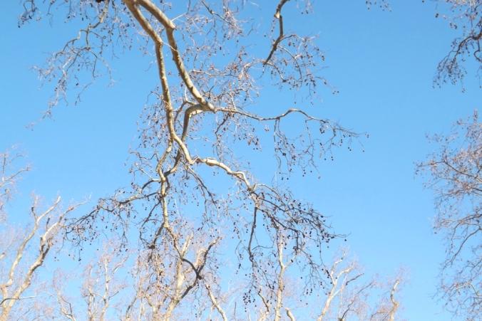 branches de platanes villeneuvette