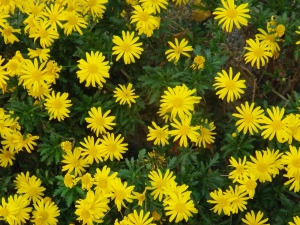 fleurs jaunes village Eus
