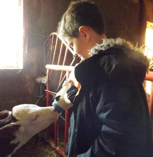 franck donne le biberon à une jeune veau dans une ferme du vercors