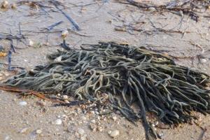 Algues Etang de Thau a Bouzigues