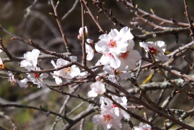 amandiers en fleurs mont saint loup Agde
