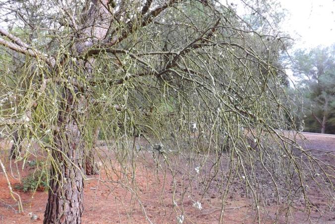 arbre mont saint loup agde