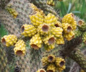 fleurs de cactus a octon