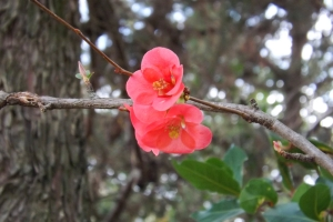 fleurs roses arbre octon