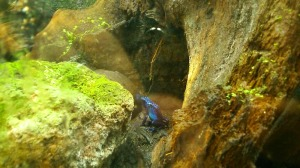 grenouille bleue foret amazonienne montpellier