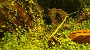 grenouille jaune et noir foret amazonienne