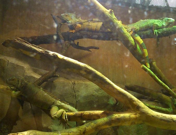 iguanes foret amazonienne montpellier