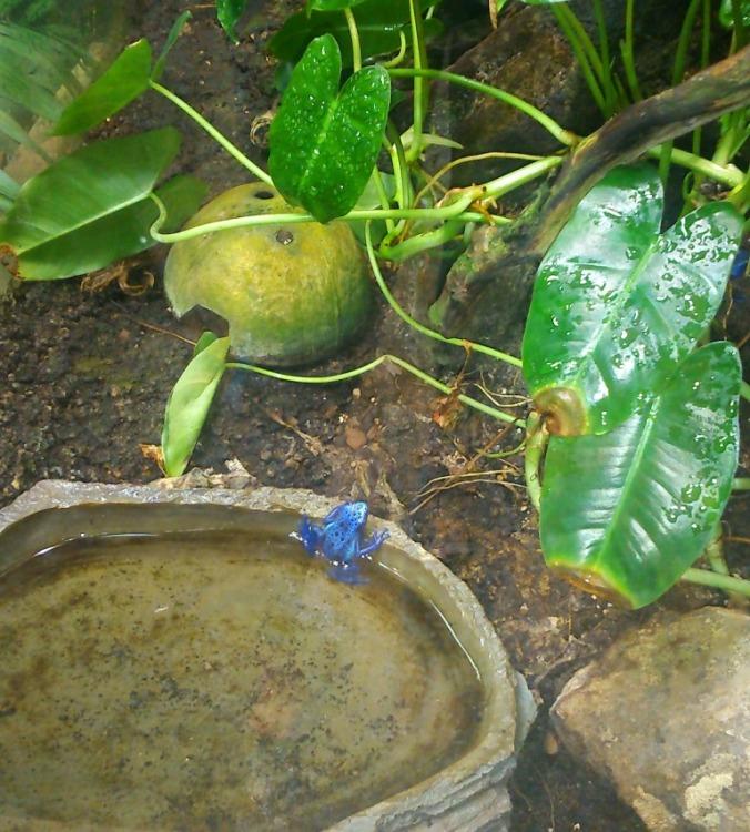 petite grenouille bleue foret amazonienne montpellier