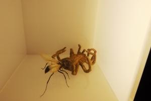 araignee mangee par un insecte micropolis