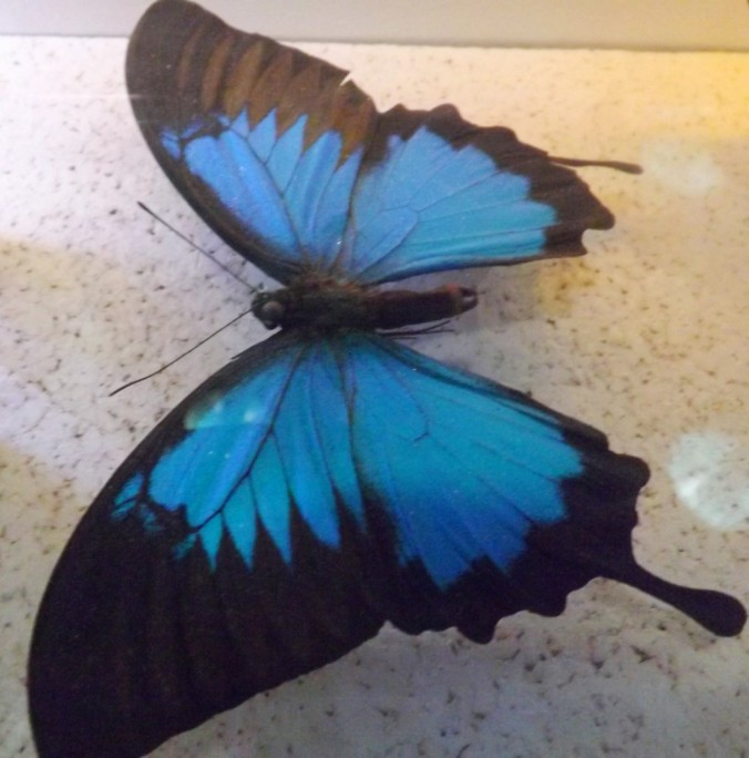 papillon bleu et noir micropolis