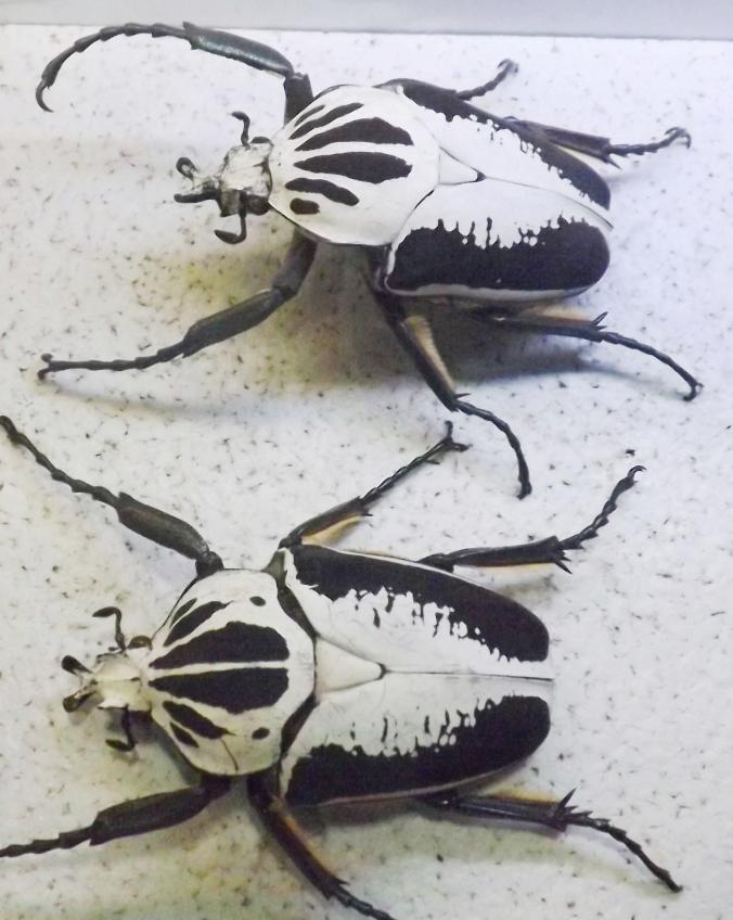 scarabees noir et blanc micropolis