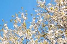 arbre en fleurs aveyron