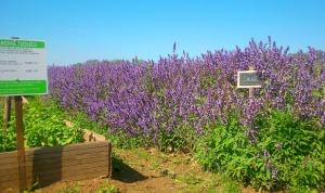 plantes aromatiques caillan