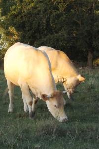 vaches bondillou coucher de soleil