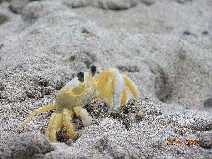 crabe-martinique