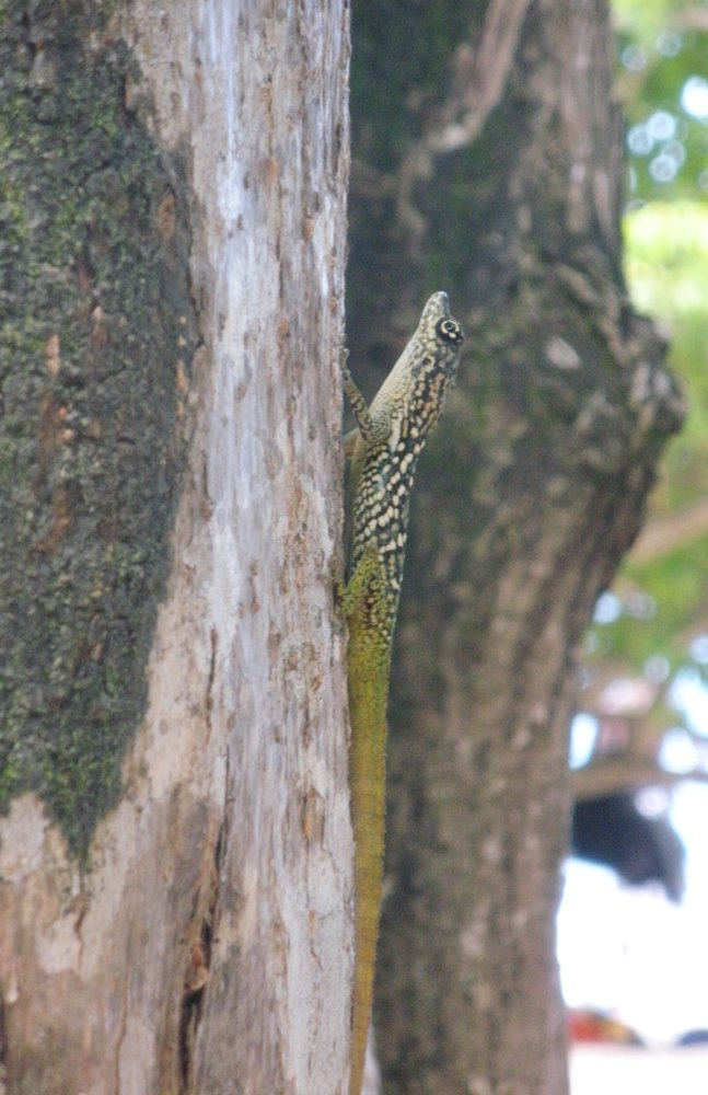 sorte-de-lezard-martinique