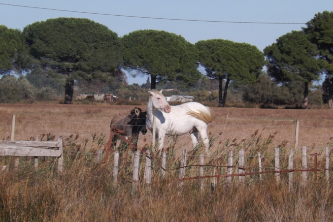cheavux-blancs