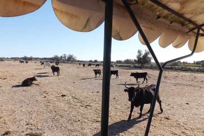 les-taureaux-dans-la-manade